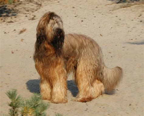Briard Information - Dog Breeds at thepetowners