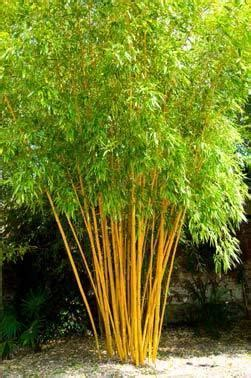 Screening bamboo plants, hedge bamboo plants, privacy