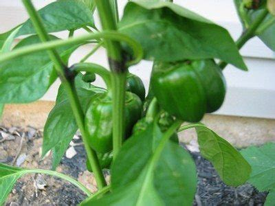 Pepper Plant Problems - Why Pepper Plants Have Black