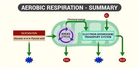 Respiration In Plants - Respiration in Roots, Stem and in