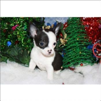 Chihuahua teacup puppies for sale! We ship, very safe