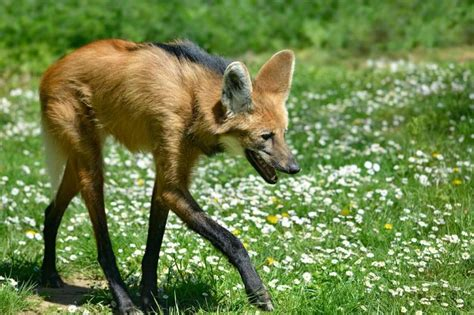 Maned Wolf Facts, Habitat, Diet, Life Cycle, Baby, Pictures